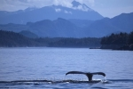 The British Columbia northern coast is a great location to do some humpback whale watching.