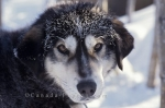 Photo: Husky Sled Dog Alaska