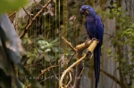 Photo: Hyacinth Macaw Bird