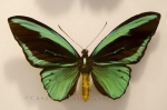 Photo: Indonesia Birdwing Butterfly Picture Newfoundland