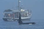 Photo: Killer Whale Watching Vancouver Island