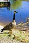 Photo: Lake Erie Canada Goose Goslings Point Pelee National Park Ontario