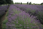 Photo: Lavender Field North Island New Zealand