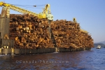 A log barge containing huge quantities of wood from the forests of British Columbia is a common sight on many rivers.