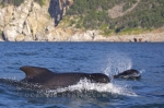 Belonging to the Oceanic dolphin family, Long Finned Pilot whales are actually dolphins rather than whales although at times they behave like whales. Their scientific name is Globicephala melas.