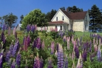 Lupins grow around this old house on Prince Edward Island in Canada, North America.