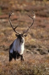 Photo: Male Caribou Alaska