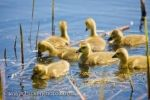 Visitors to the Marsh Boardwalk in Point Pelee National Park in Leamington, Ontario in the spring can often see cute, fluffy Canadian Geese goslings scouring the surface of Lake Erie.