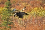 A Moose Bull surrounded by the autumn colours in Denali National Park in Alaska, USA.