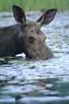 As a moose spends his time feeding in a lake in Ontario, Canada, he keeps an eye open to make sure that we do not make any sudden moves.