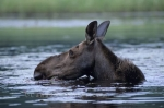 Photo: Moose Head Ontario