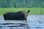 A moose wanders into a pond up to his belly in search of food as he scans the Ontario landscape for any signs of danger.