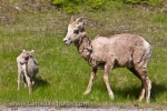 Near the shores of Lake Minnewanka in Banff National Park, Alberta, a mother Bighorn Sheep stays alert of her surroundings while with her lamb.