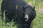Photo: Mother Black Bear