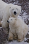 A mother Polar Bear keeps close contact with her cub who nuzzles in under her chin in the Churchill Wildlife Management Area in Churchill, Manitoba in Canada.