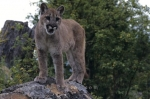 A graceful mountain lion demonstrating predominance in British Columbia, Canada.