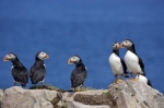Cute little Atlantic Puffins, the official bird of Newfoundland, Canada, hang around on the rock ledges of Bird Island where nesting and breeding takes place.