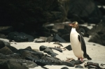 Photo: New Zealand Penguin