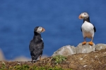 Photo: Newfoundland Atlantic Puffins Bird Island