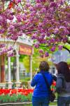 Tourists admire the colorful tulips on display in front of the Prince of Wales Hotel in Niagara-on-the-Lake, Ontario.