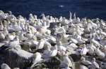 Thousands of Northern Gannets nest upon Bird Rock at the Cape St Mary's Ecological Reserve on the Avalon Peninsula in Newfoundland Labrador.