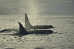 A family of Orca stay close together on Vancouver Island in British Columbia, Canada.