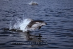During whale watching excursions in BC, Pacific White Sided Dolphins are often also seen.