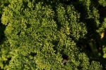 Photo: Parsley Garden