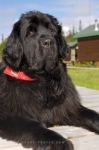 This beautiful black Newfoundland dog is a pet at the Rifflin'Hitch Lodge in Southern Labrador in Canada.