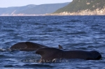 The beauty of the waters of the Gulf of St. Lawrence in Nova Scotia as Long Finned Pilot Whales decide to make an appearance for passengers aboard a whale watching tour.