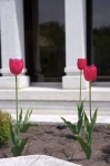Pink Tulips stand tall in the gardens in front of the white columns at the entrance of the Alberta Temple in Southern Alberta, Canada.
