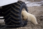 Photo: Polar Bear Activities Churchill Manitoba