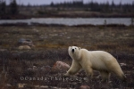 Journeying across the tundra of Churchill, Manitoba, this Polar Bear is very alert of what is happening around him.
