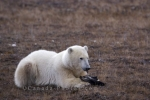 Photo: Polar Bear Appetizer Churchill Manitoba