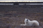 Photo: Polar Bear Cloud Watching Churchill Manitoba