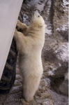 A Polar Bear cub tries hard to inspect the people on a Tundra Buggy Tour in Churchill, Manitoba but finds out that he is not quite tall enough.