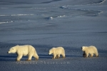 Photo: Polar Bear Family Churchill