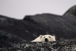 Photo: Polar Bear Head Hudson Bay Churchill Manitoba