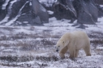 As the snow begins to blanket the tundra near the shores of the Hudson Bay in Churchill, Manitoba, a Polar Bear sniffs out the area for any signs of food.