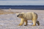 The hunt for food has begun for a Polar Bear as he wanders along the icy shoreline of the Hudson Bay in Churchill, Manitoba.