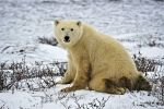 An image that is not forgotten by many tourists to Churchill, Manitoba is this close up of a Polar Bear sitting on the icy tundra.