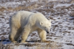 A Polar Bear is getting too close to civilization as he nears Camp Nanuq located along the Hudson Bay in Churchill, Manitoba.