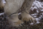 A Polar Bear is the largest land carnivore in the world and its massive paws and claws are easily matched to its size as seen in this picture taken in the Churchill Wildlife Management Area.