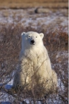 A pose by a Polar Bear near Camp Nanuq in the Hudson Bay in Churchill, Manitoba gives us the perfect opportunity to snap a few pictures.