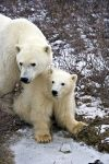 Protection is the number one concern for any mother, but a Polar Bear will keep her cub safe anyway she knows how while being watched by humans who are on a tour to the Hudson Bay in Churchill, Manitoba.