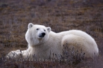 Photo: Polar Bear Relaxing Churchill Manitoba