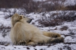 Photo: Polar Bear Roll Churchill Manitoba