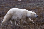 A grown Polar Bear running freely in the Churchill Wildlife Management Area along the coastline of the Hudson Bay in Churchill, Manitoba.