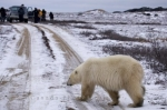 The first sighting of a Polar Bear around the region of Churchill, Manitoba is very exciting for tourists and they are ready to snap hundreds of pictures.