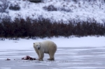 Photo: Polar Bear Food Hudson Bay Manitoba